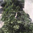 Cae una higuera en el patio del Hogar Sagrada Familia